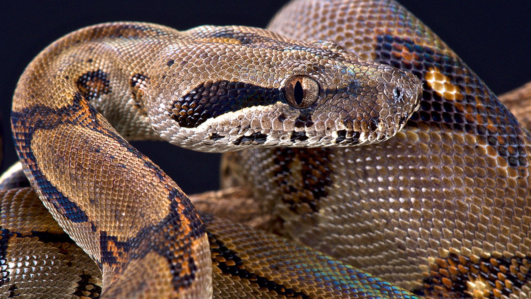 Hotel staff at a N.C. Rhodeway Inn were in for a terrifying surprise when they found a snake in the bed.