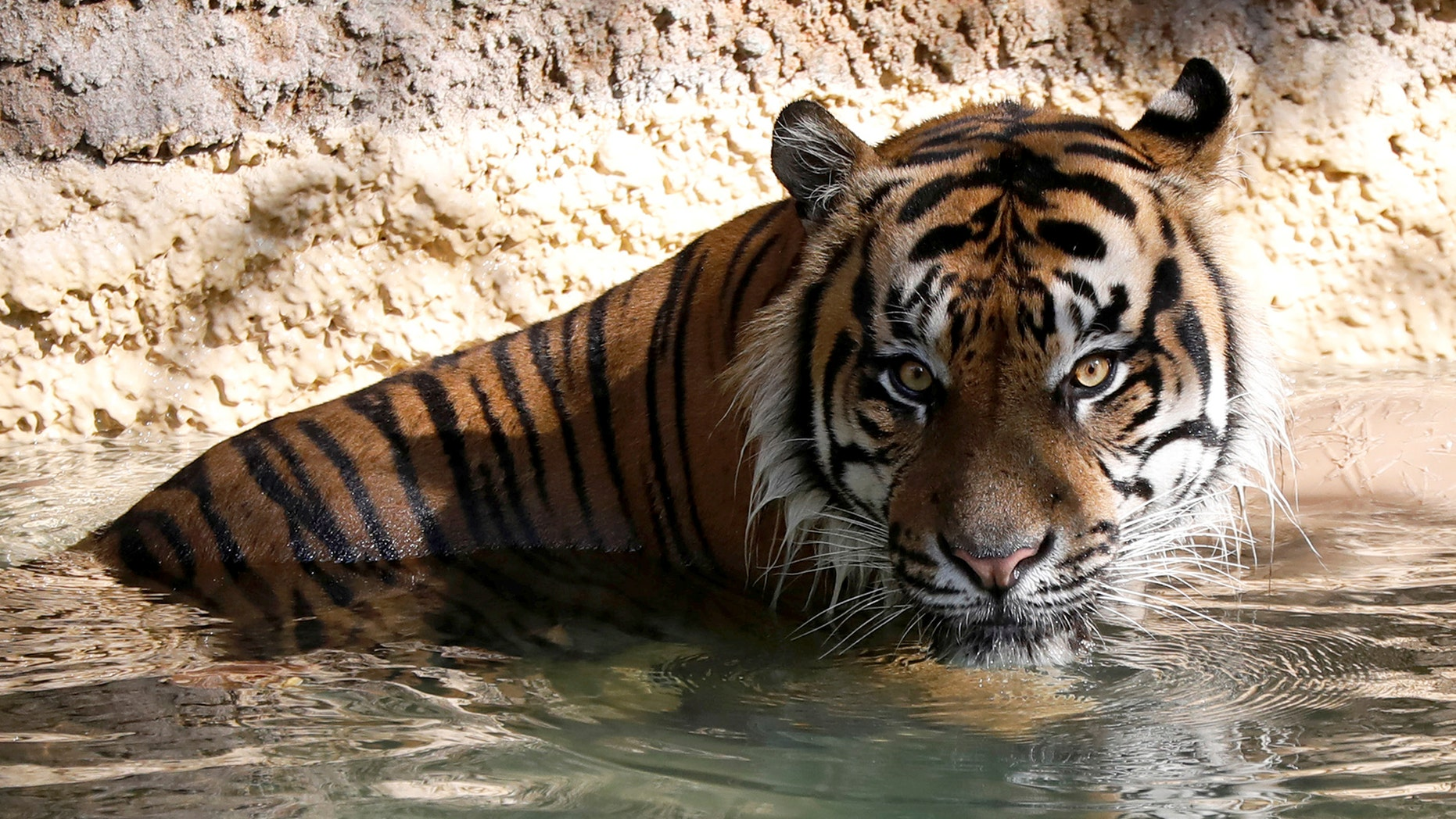 A Sumatran tiger cools off in her enclosing during a summer day during a Los Angeles Zoo, Aug. 5, 2017. (Reuters)