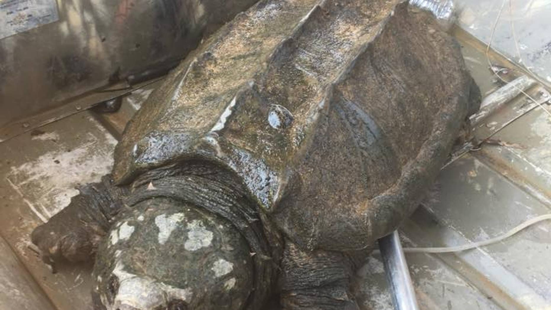 Two fishermen in Oklahoma came across the alligator snapping turtle while fishing with a trotline.