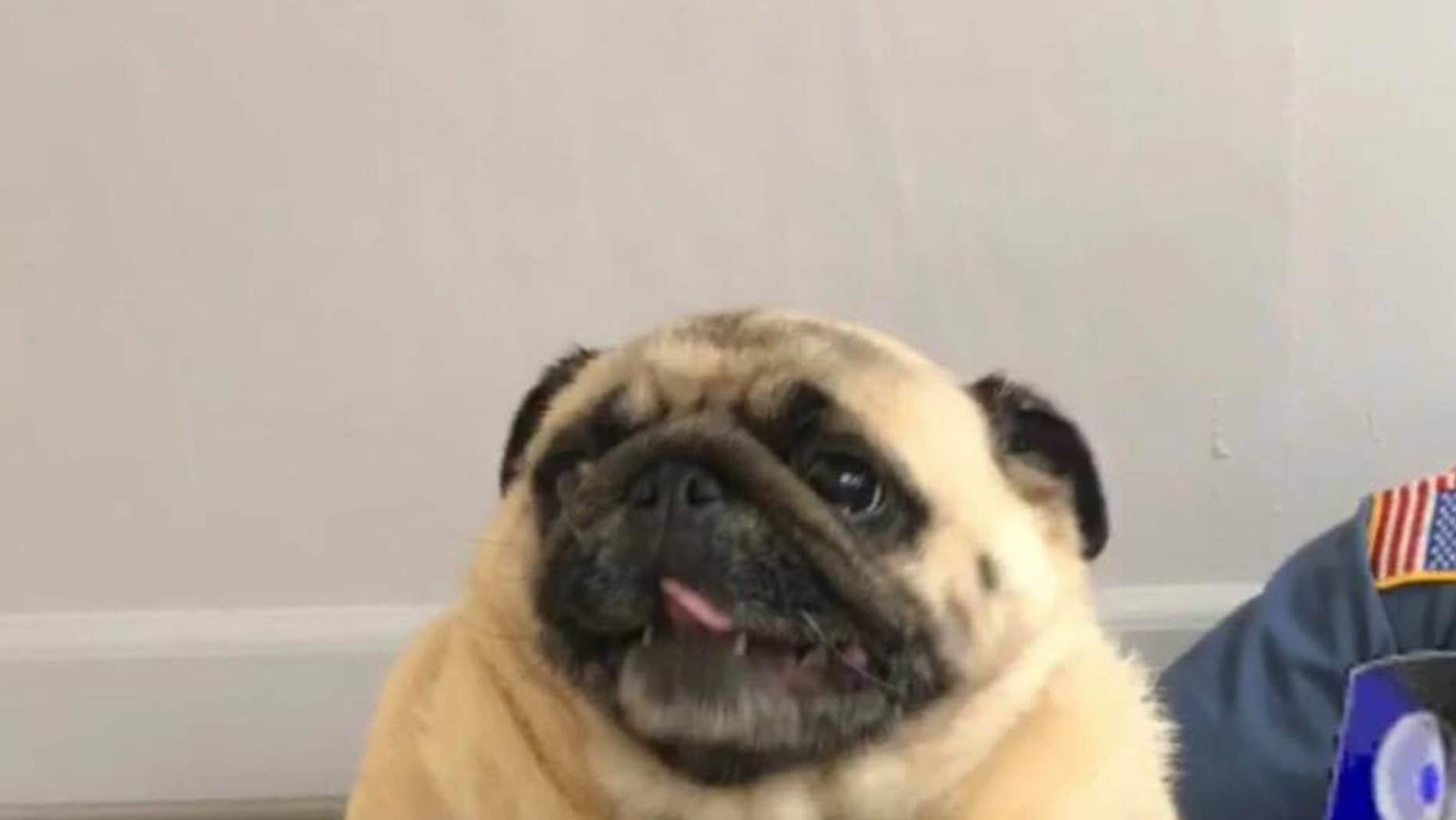 Bean the pug returned home after her mugshot went viral.