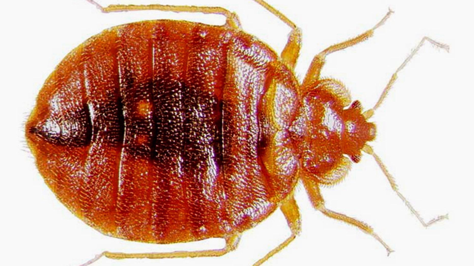 Adult bedbug at high magnification.