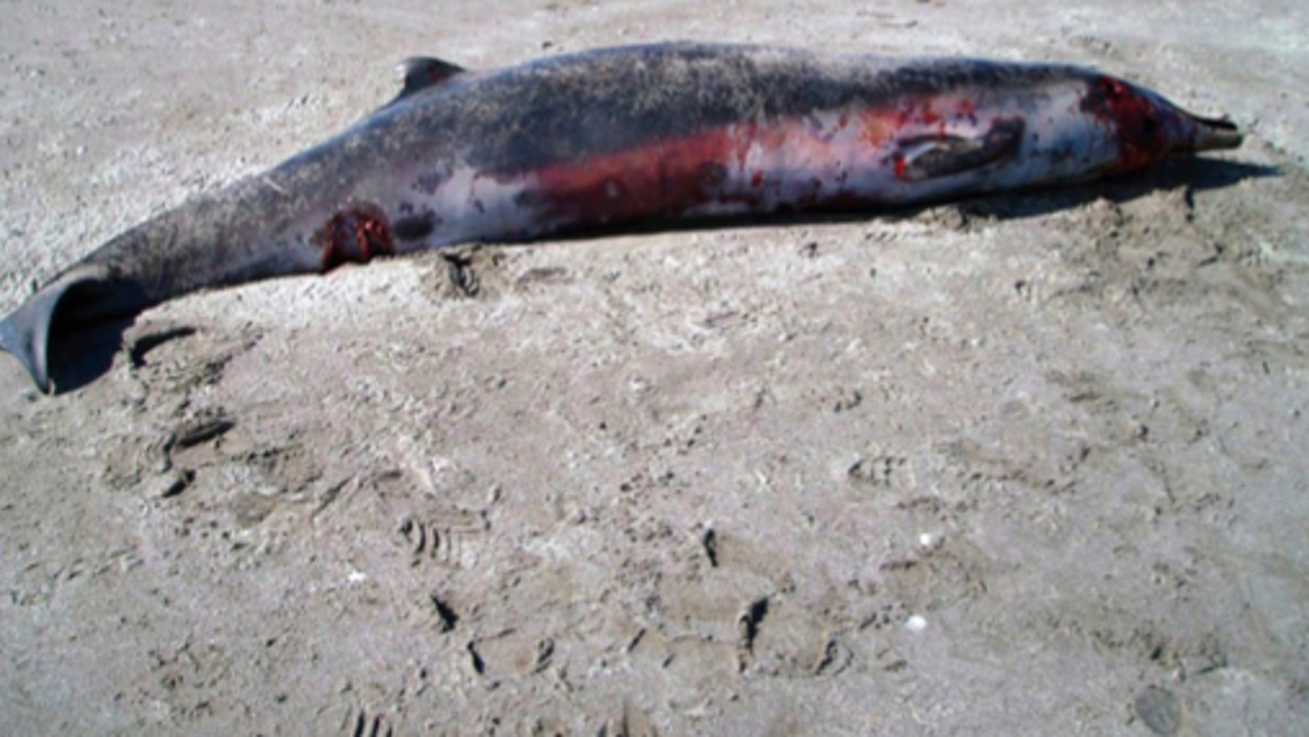 The world's rarest whale, the spade-toothed beaked whale, has been spotted for the first time in New Zealand. The whale stranded and died on a beach in December 2010.