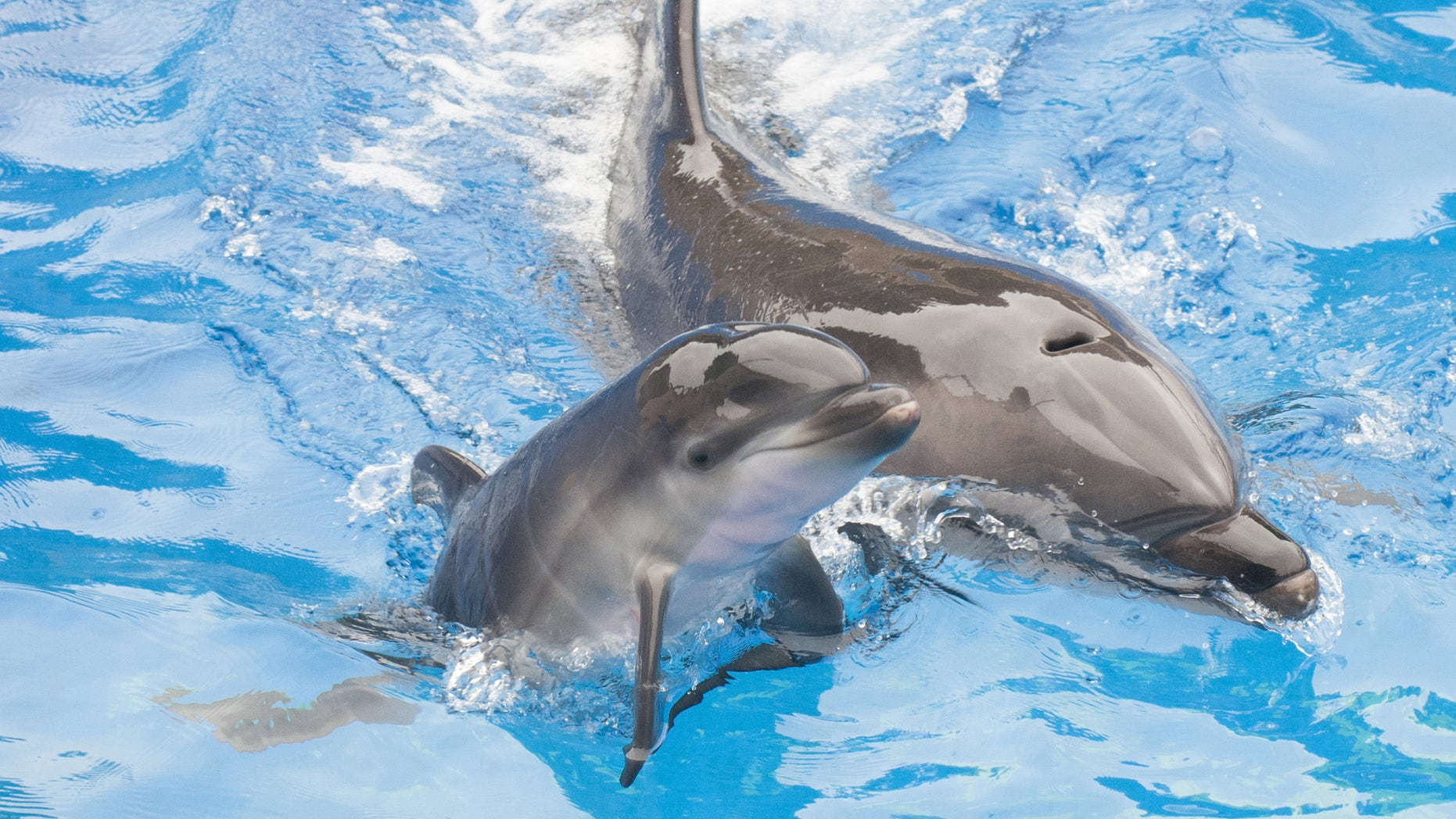 SAN DIEGO, CA - OCTOBER 20:  In this handout photo provided by SeaWorld San Diego, Sadie, a 13-year-old bottlenose dolphin at SeaWorld San Diego, swims with her newborn calf at the marine park's Dolphin Stadium October 20, 2014 in San Diego, California.  The calf, born on Saturday, Oct. 18 at 3:32 p.m., is strong and appears to be in good health. She is nursing regularly and continues to bond with its mother. This is the 80th bottlenose dolphin born at SeaWorld San Diego. (Photo by Mike Aguilera/SeaWorld San Diego via Getty Images)