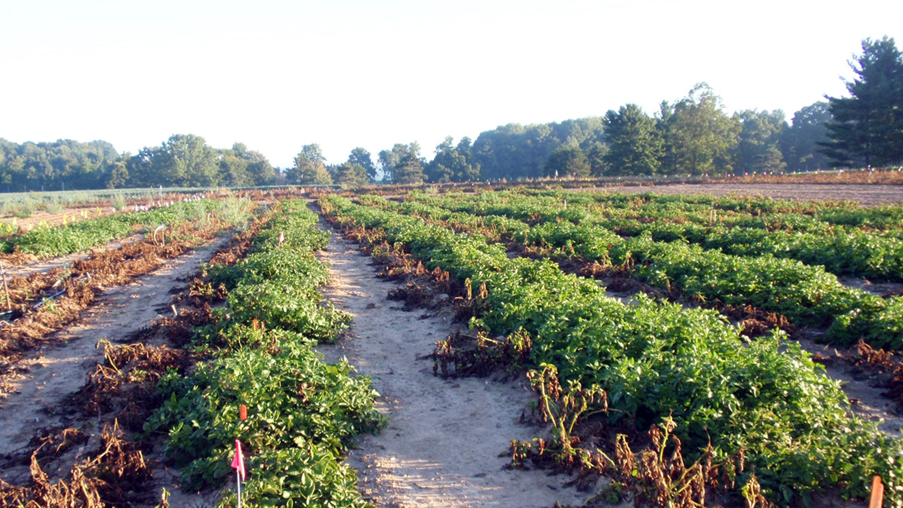 This 2013 photo taken at Michigan State University in East Lansing, Mich., and supplied by J.R. Simplot Company shows wilted conventional potato plants without resistance to the pathogen that caused the Irish potato famine on the left next to surviving rows of J.R. Simplot Co's genetically engineered potato plants that resist the disease.