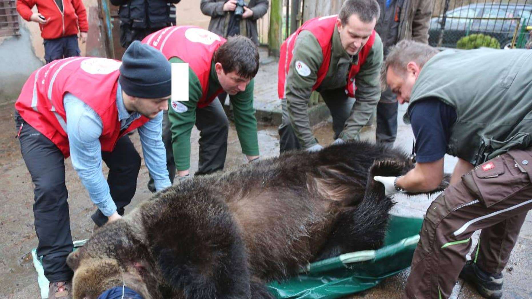 Doctors and activists of the FOUR PAWS animal welfare international organization are preparing to load sleeping brown bear Wojtusia into a cage and onto a truck in Braniewo, Poland, Wednesday, 14 Dec. 2016, to transport it from inappropriate conditions at the unlicensed local zoo in northeastern Poland to a spacious enclose and good conditions at a professional zoo in Poznan, in western Poland. The organization says the transfer marks the end of illegal keeping of brown bears in Poland. (Christiane Flechtner/ FOUR PAWS via AP)