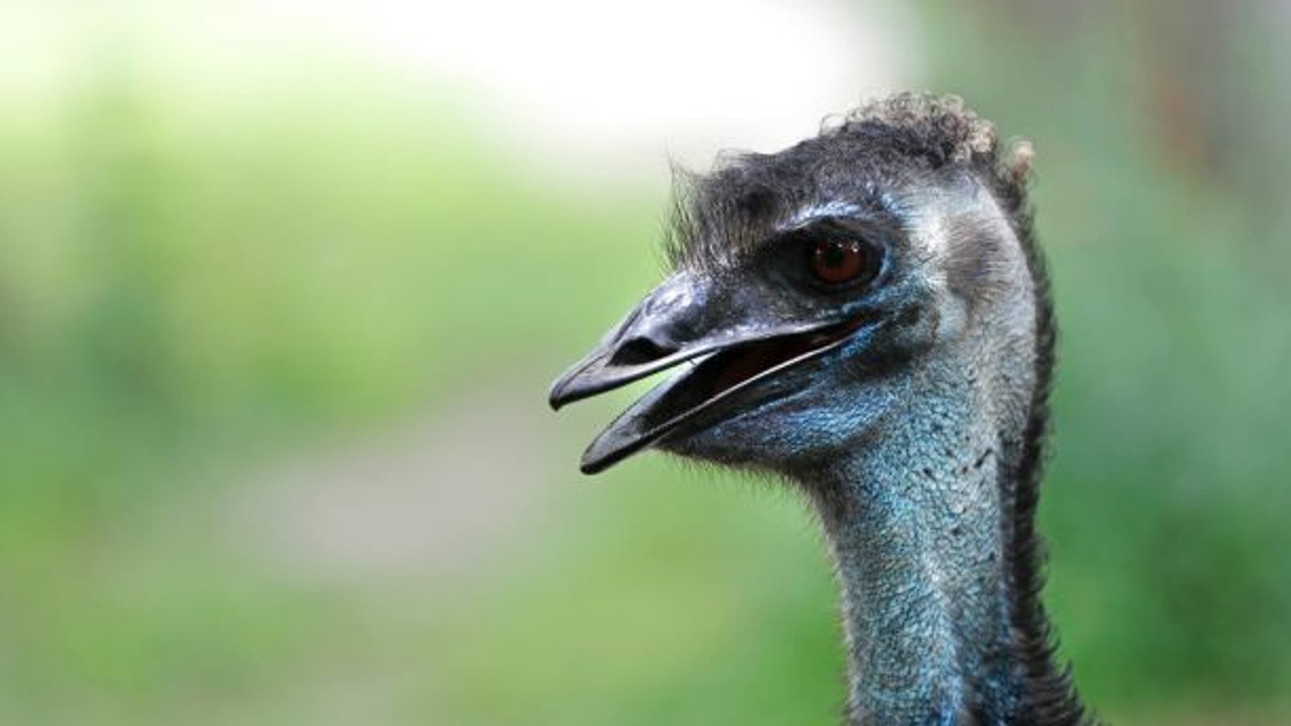 An unidentified driver was seen plowing into emus in a video recently posted to Facebook.