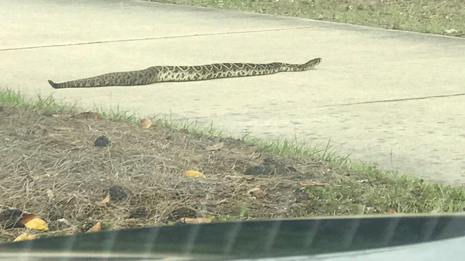 Monster' diamondback rattlesnake spotted in Florida | Fox News