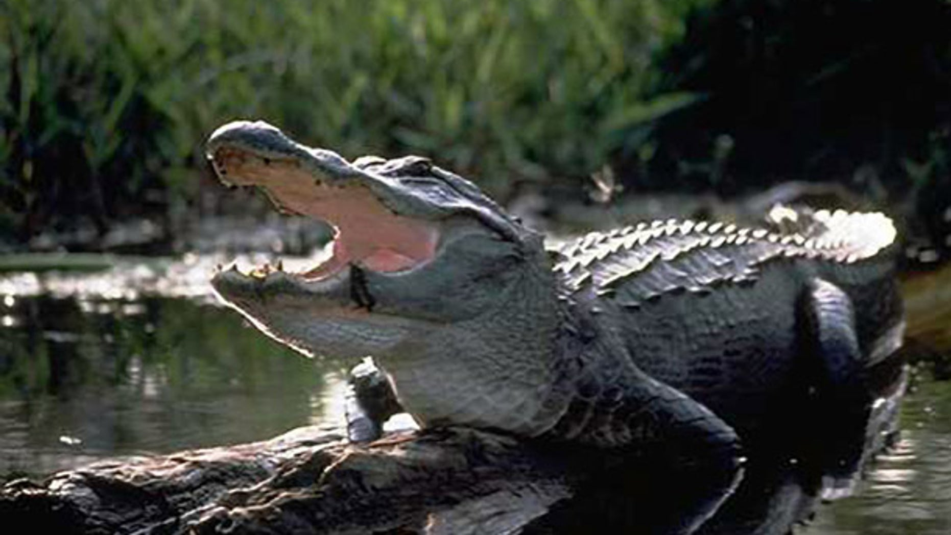 The development has 151 lagoons, and who knows how many gators?