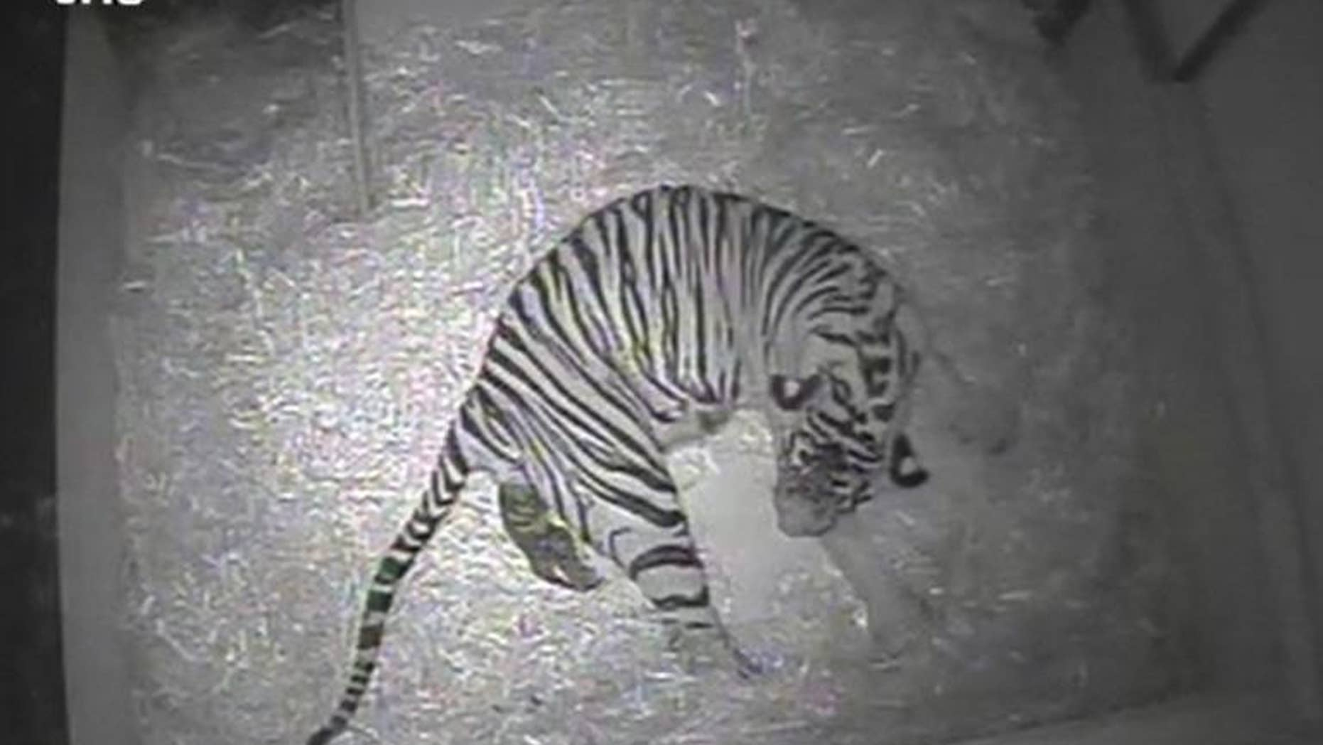 Screengrab released by ZSL London from a video taken by a hidden camera at London Zoo on September 22, 2013 shows five-year-old Sumatran tiger Merati giving birth to a single cub
