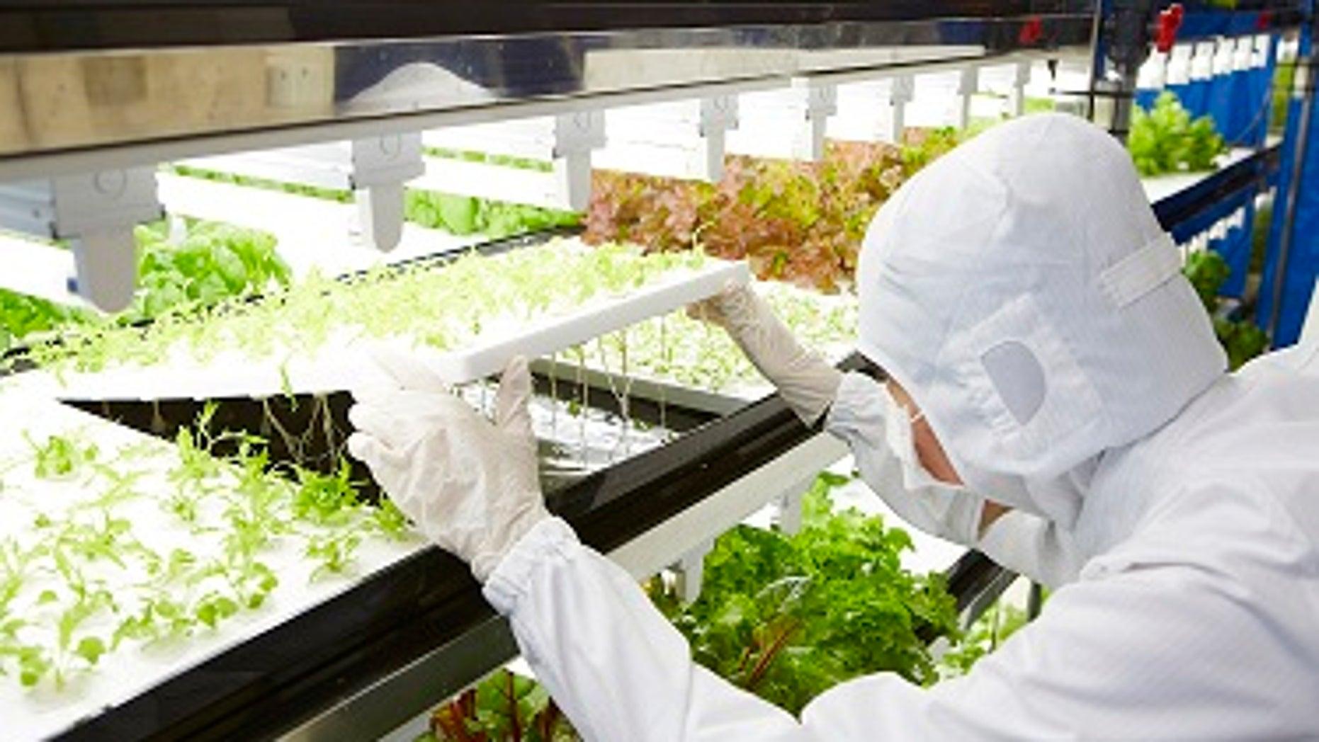 A scientist examines baby lettuces growing.