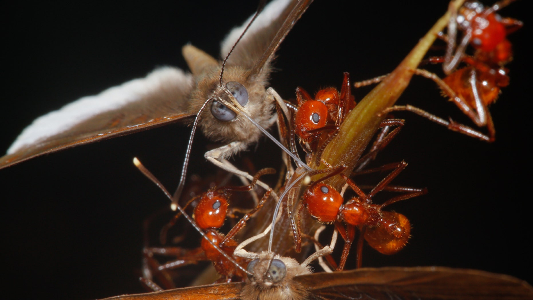 A new study has shown a strange relationship between a butterfly species and the ants it hangs out with. While the larvae and the ants provide mutual benefits to each other, the adult butterflies are freeloaders that stea