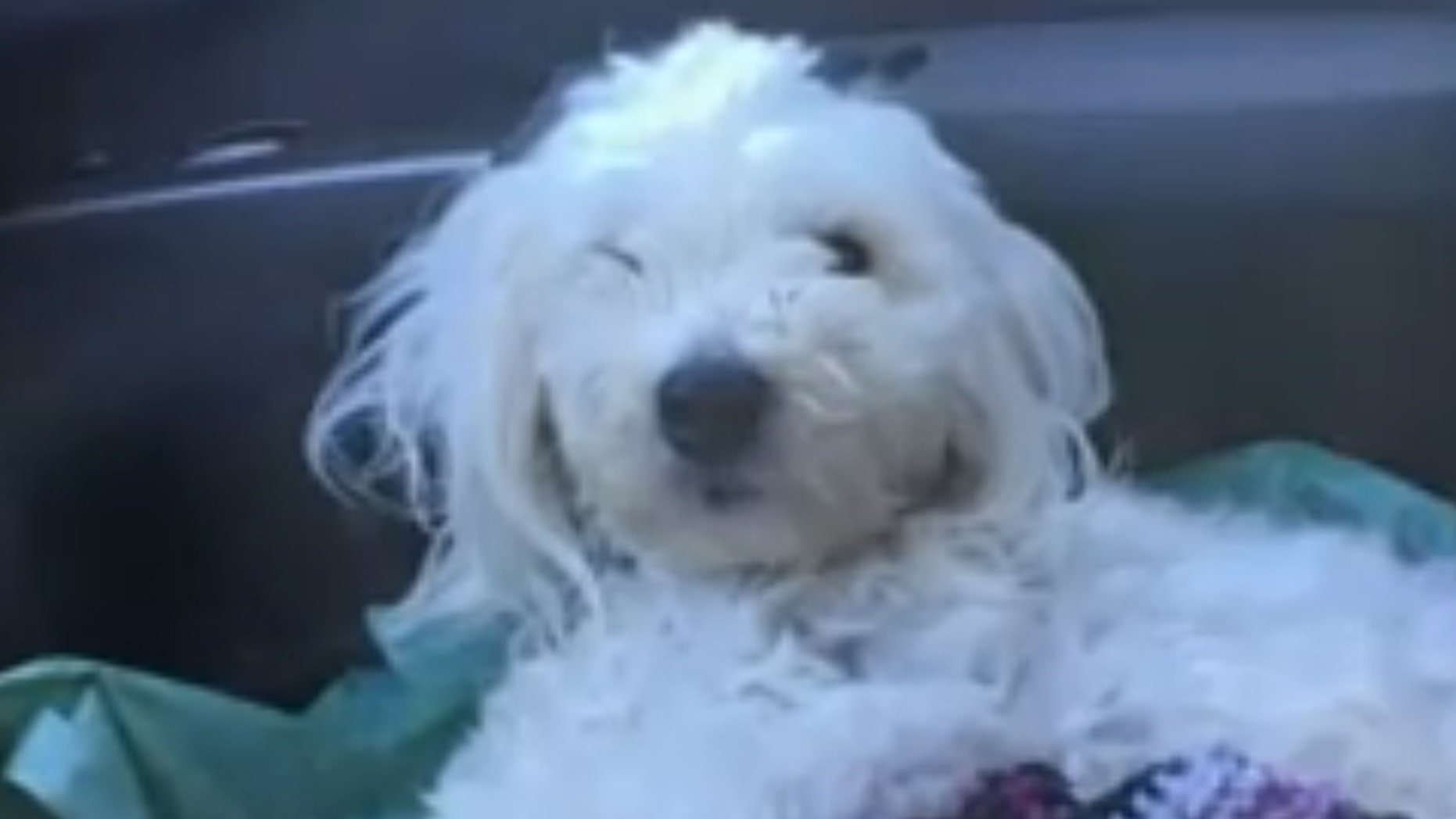 Rex, an 18-month-old Bichon and Maltese mix puppy, was thrown out of a car Thursday on a California interstate after his back legs were tied up. (Fox 40)