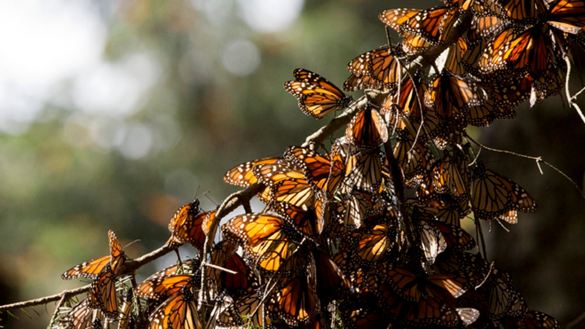 In this Jan. 4, 2015, file photo, a kaleidoscope of Monarch butterflies hang from a tree branch, in the Piedra Herrada sanctuary, near Valle de Bravo, Mexico. A Mexican environmentalist says studies released Friday, Dec. 18, 2015, show illegal loggers clear-cut at least 24 acres (10 hectares) in the monarch butterflies wintering grounds in central Mexico. (AP Photo/Rebecca Blackwell, File)