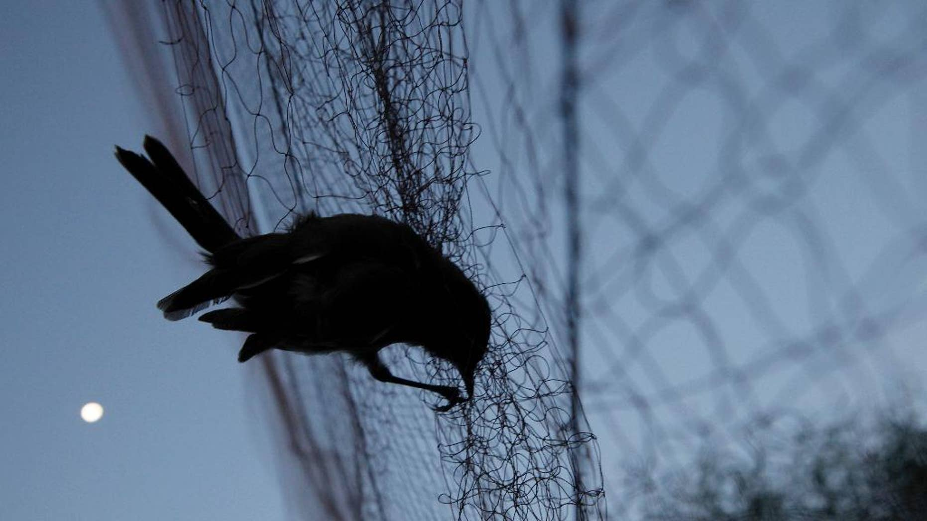 FILE - In this Nov. 3, 2012 file photo, a bird is entangled in a net used by poachers to trap birds, in the early morning in the Larnaca district of Cyprus. A spokesman for Britain's two military bases on Cyprus said on Wednesday Feb. 1, 2017, there will be no let-up in an ongoing crackdown against illegal bird trapping on bases territory.(AP Photo/Petros Karadjias, File)