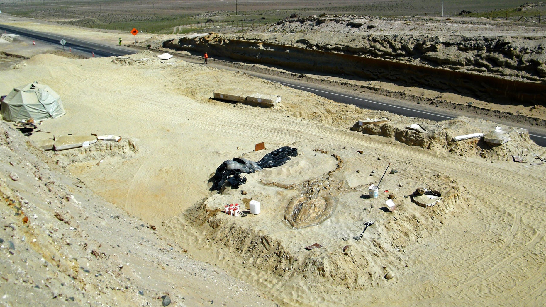 FILE - In this Aug. 24, 2010 FILE photo released by Chile's Paleontological Museum of Caldera, a prehistoric whale fossil lays in the Atacama desert near Copiapo, Chile. A team of Chilean and Smithsonian Institution scientists investigating the graveyard of marine mammal fossils say toxins generated by algae blooms most likely poisoned the animals millions of years ago. The study by a team of Chilean and Smithsonian Institution scientists was published Wednesday, Feb. 26, 2014 in the journal Proceedings of the Royal Society B. (AP Photo/Museo Paleontologico de Caldera, File)