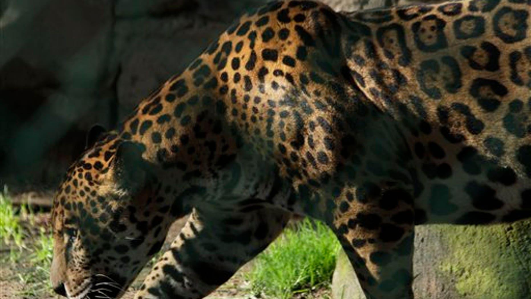 A jaguar walks in a public zoo in Zacango, Mexico, Aug. 17, 2011. (Associated Press)
