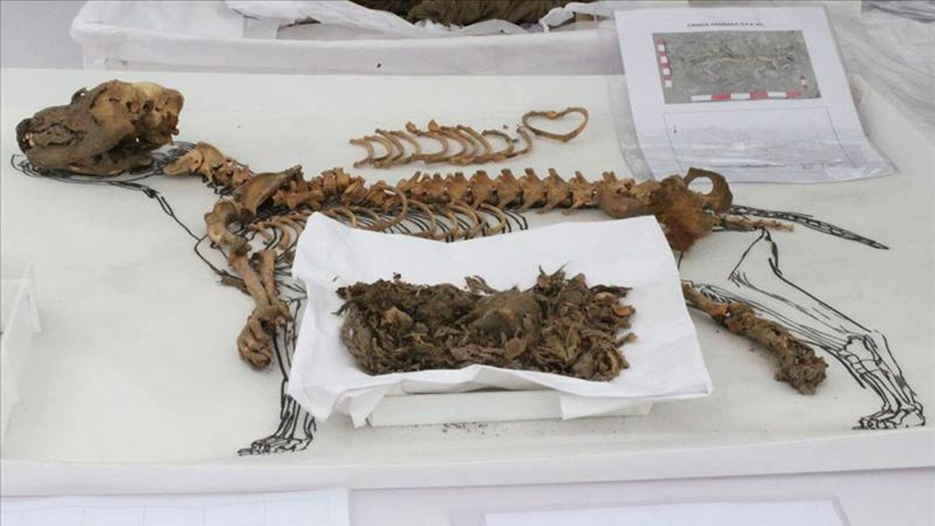 One of the 137 dogs, thought to be more than 900 years old, found in an archaeological complex in Lima, Peru.