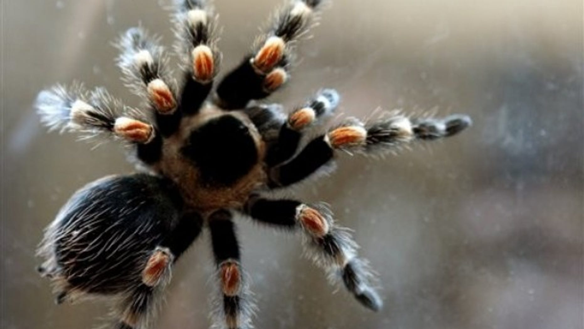 A tarantula spider (Theraphosidae) is displayed during a live exotic animal exhibition in the Bulgarian capital Sofia, Monday, April 19, 2010.(AP Photo/Petar Petrov)