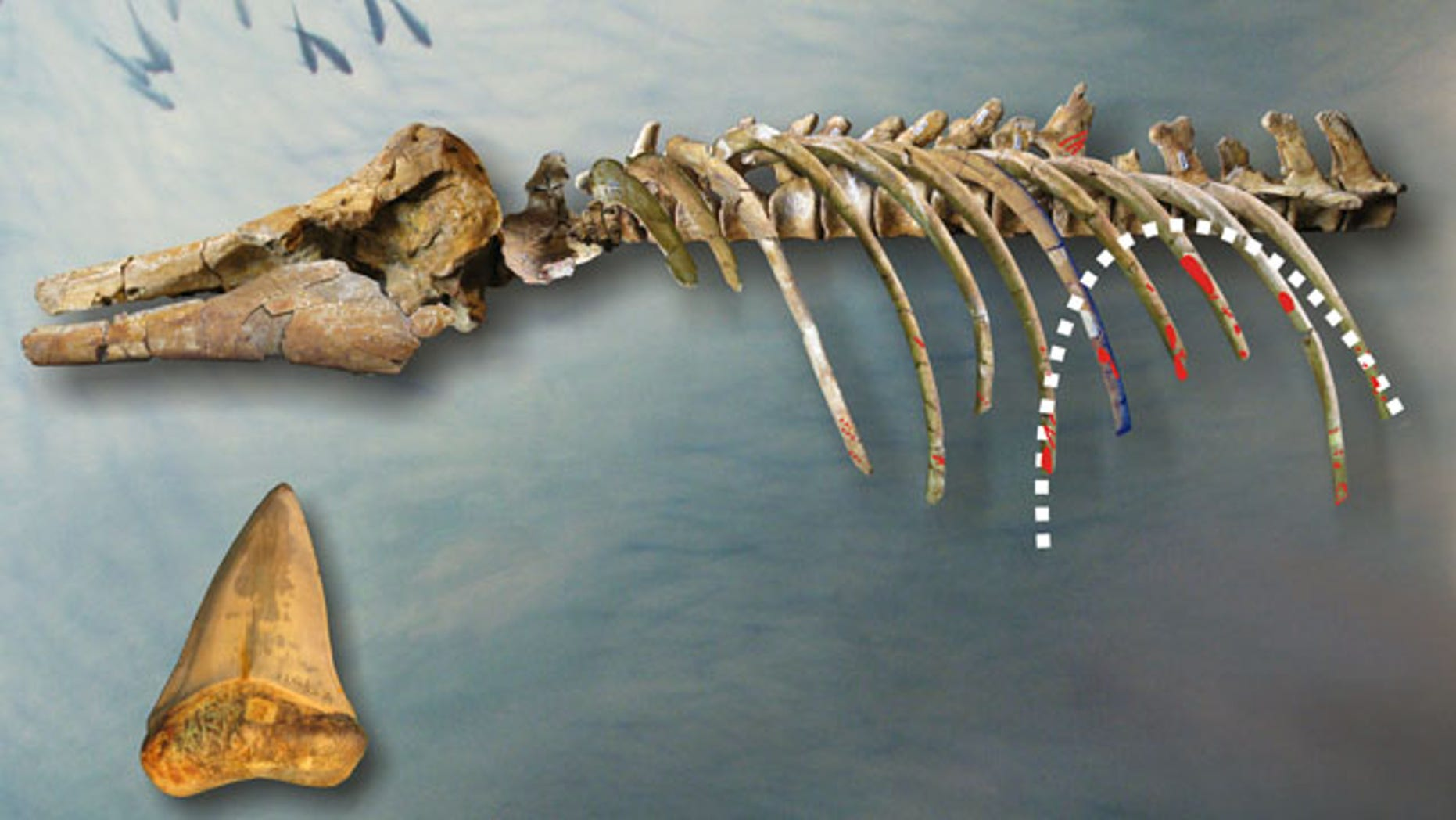 Paleontologists have performed a forensic style examination of the fossilized remains of a 4-million year old dolphin in order to find its killer.