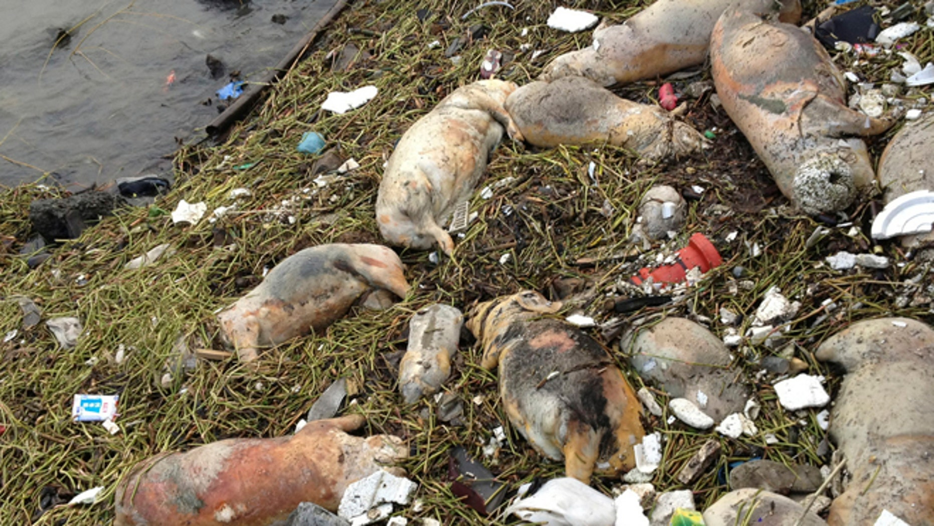 Sunday, March 10, 2013: In this photo taken Thursday and made available Sunday, dead pigs are strewn along the riverbanks of Songjiang district in Shanghai, China. Chinese officials say they have fished out 900 dead pigs from a Shanghai river that is a water source for city residents. Officials are investigating where the pigs came from. A statement posted Saturday on the city's Agriculture Committee's website says they haven't found any evidence that the pigs were dumped into the river or of any animal epidemic.