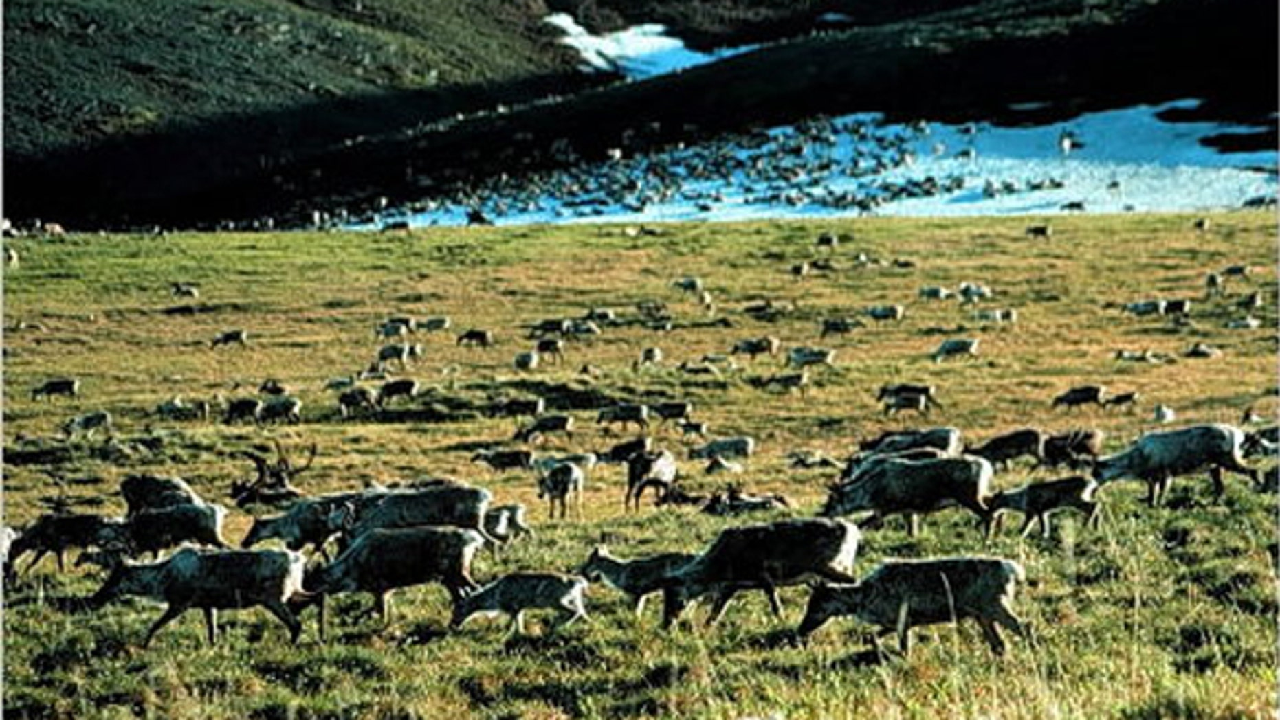 Caribou grazing in the Arctic National Wildlife Refuge in Alaska.