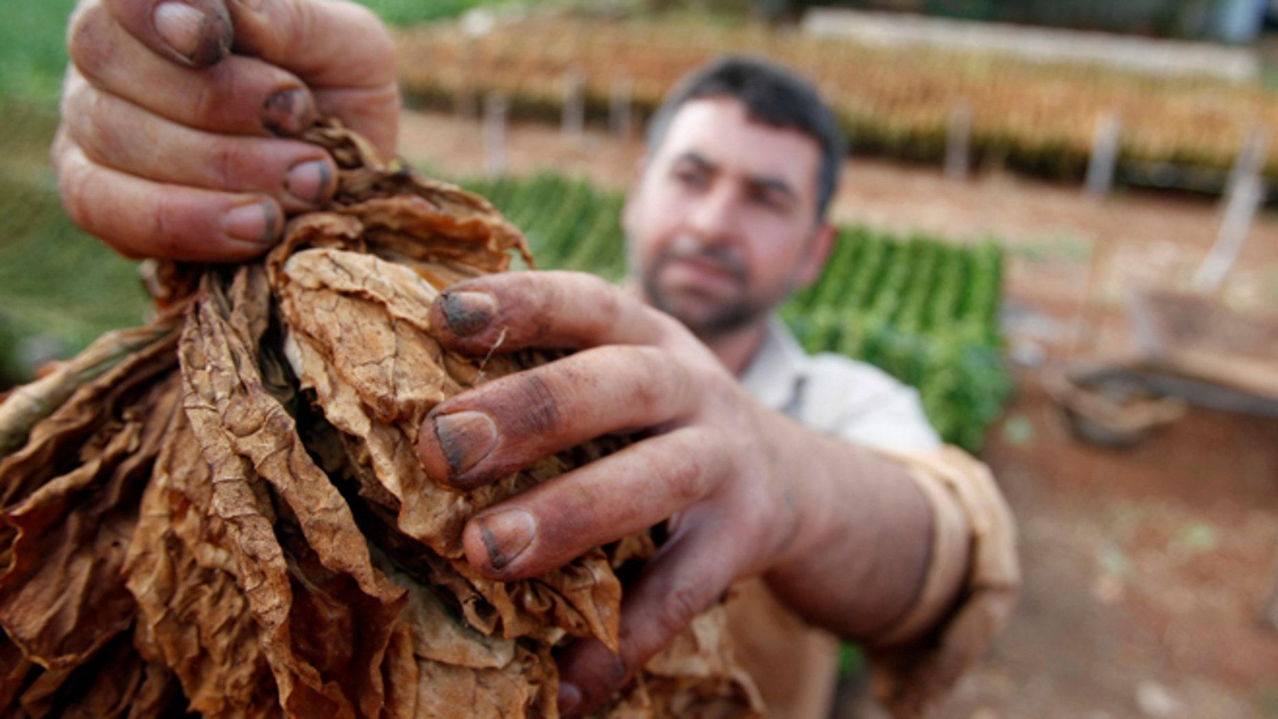 A farmer holds tobacco leaves in Aitaroun, south Lebanon, June 7, 2014. REUTERS/Ali Hashisho