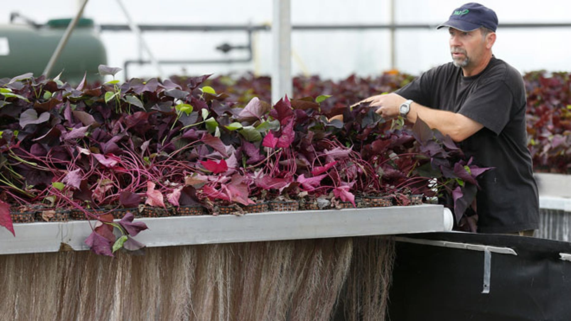 "An employee prepares the exudation of plants roots at the Plant Advanced Technologies (PAT) company greenhouse in Laronxe near Nancy, Eastern France, June 19, 2015. The farmers employed at the site in Laronxe are growing plants in a special way with a view to ""milking"" them for use in medicines, cosmetics and agrochemicals. Several major brands, including Germany's BASF and France's Chanel, have teamed up with Plant Advanced Technologies (PAT) in the hope of securing privileged access to the so-called 'biomolecules' it extracts through the use of a patented technique. Picture taken June 19, 2015."
