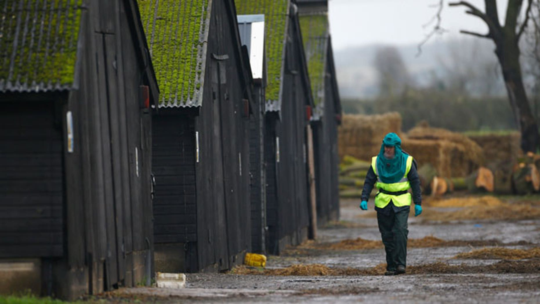 An official walks through a duck farm in Nafferton, northern England November 18, 2014. Bird flu was found on a duck farm in England on Monday days after it was discovered in Dutch chickens, forcing authorities to destroy poultry and restrict exports, although it was not a strain known to be deadly to humans. Health officials said the outbreak may have been brought to Europe by wild birds migrating from Asia where millions of South Korean farm birds have had to be destroyed.