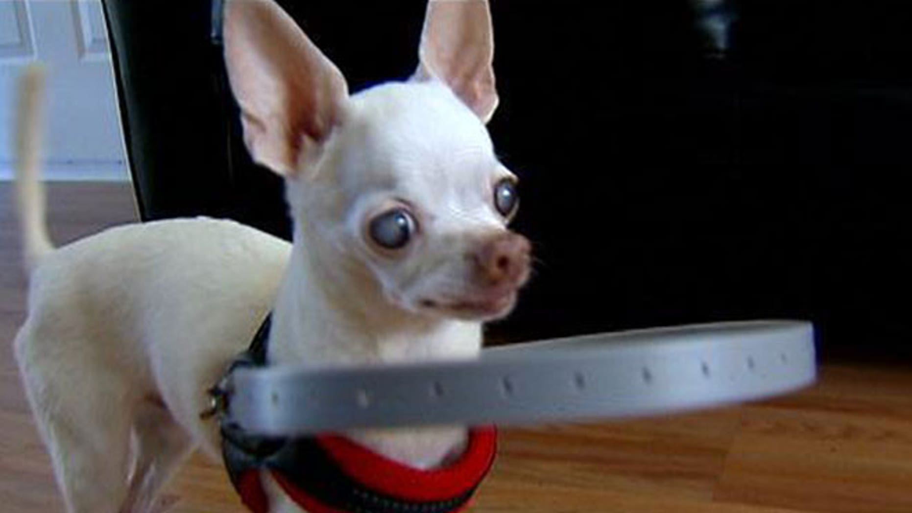 Buddy the Chihuahua, who is 13, was terrified of bumping into walls after going completely blind over the past month. To help quell the dog's fears, Jesse Foy, owner Jordan Berg's fiancé, created a handmade device to help detect objects before they hit him.