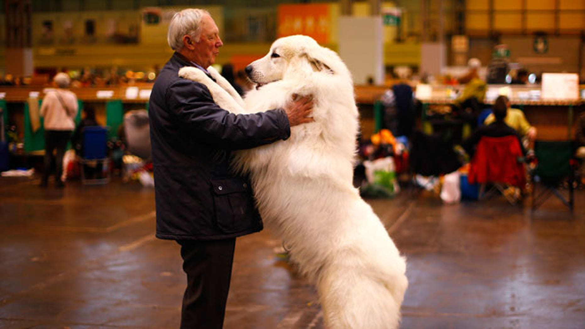 Arthur Ward stands with his Pyrenean Mountain Dog Cody during the first day of the Crufts Dog Show in Birmingham, central England, March 5, 2015.