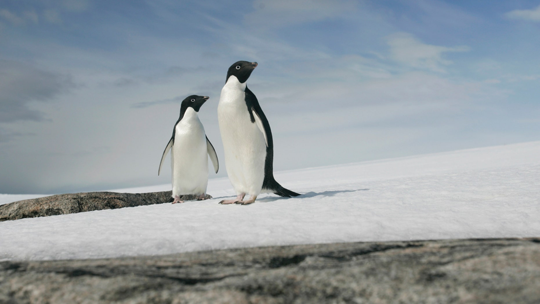 A pair of Adelie penguins are pictured at Cape Denison, Commonwealth Bay, East Antarctica, December 28, 2009.