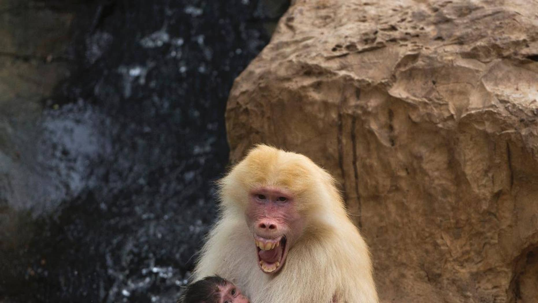FILE - In this Wednesday, Sept. 29, 2015 file photo, Sahara, a rare red-haired female Hamadryas Baboon holds 3 weeks old dark-furred baby in the Ramat Gan Safari Park near Tel Aviv, Israel. A new study in France shows that baboons can make human-like vowel sounds, and its authors say the discovery could help scientists better understand the evolution of human speech. The study was published in the journal Plos One on Wednesday Jan. 11, 2017 by a team of scientists. (AP Photo/Ariel Schalit, File)