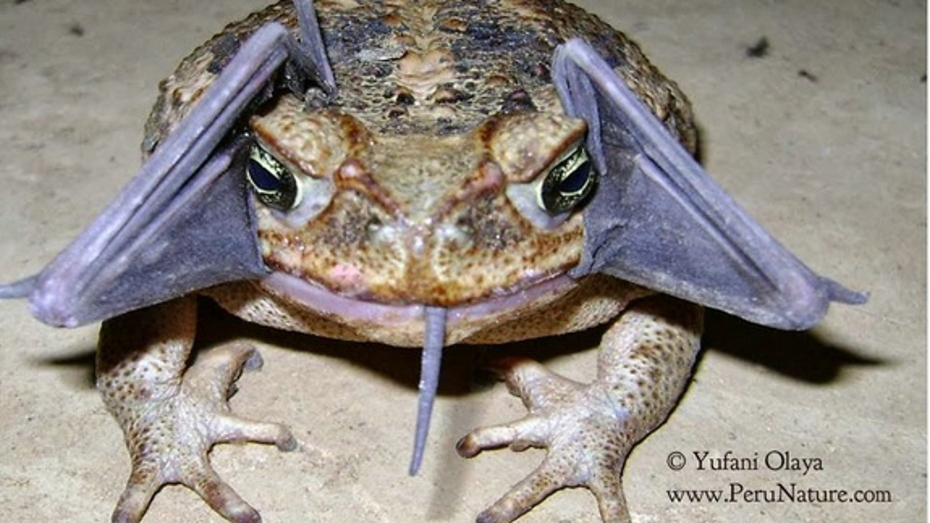 A cane toad with a bat in its mouth in Peru's Cerros de Amotape National Park.