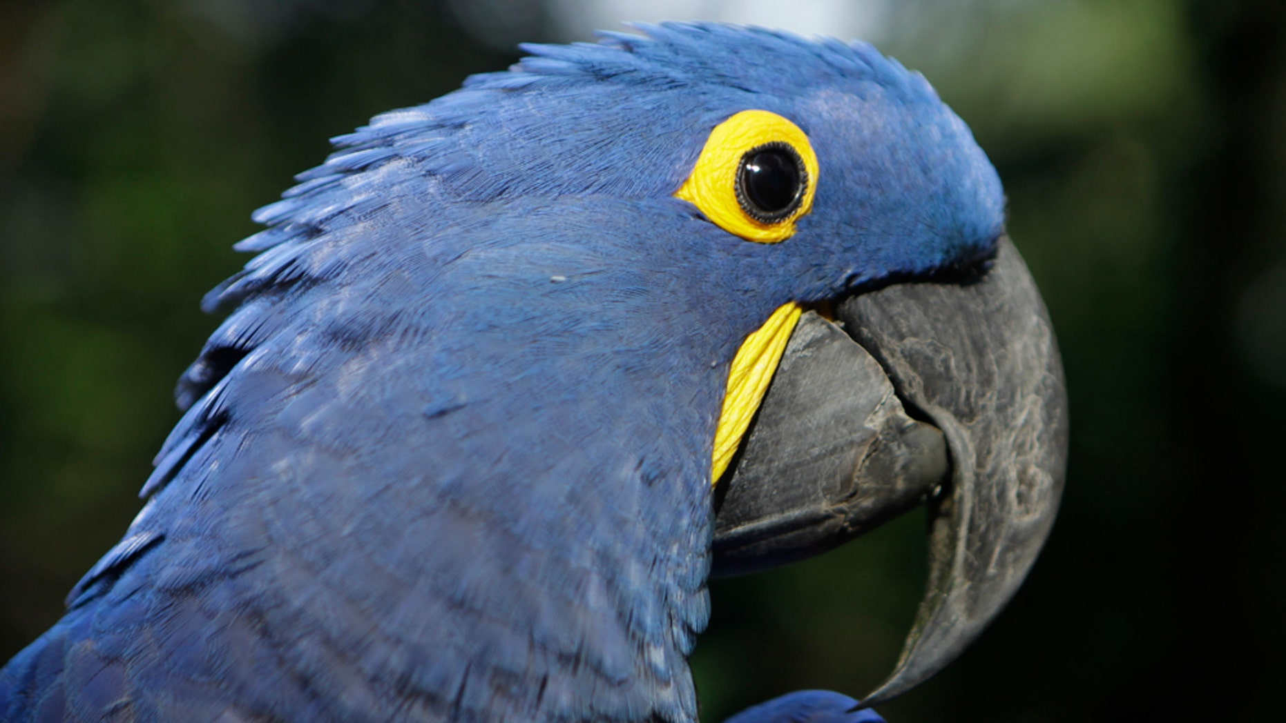 """Coco, a blue parrot, is perched on a branch at the zoo in Asuncion, Paraguay, Tuesday May 24, 2011. Coco arrived at the zoo eight years ago when he was retrieved from a band of wildlife traffickers after their arrest. According to the zoo's vet, Coco has since learned to say """"hello,"""" and will start to dance at the sound of cumbia music. The veterinarian staff is looking for a partner for the endangered cobalt blue parrot.  (AP Photo/Jorge Sanez)"""