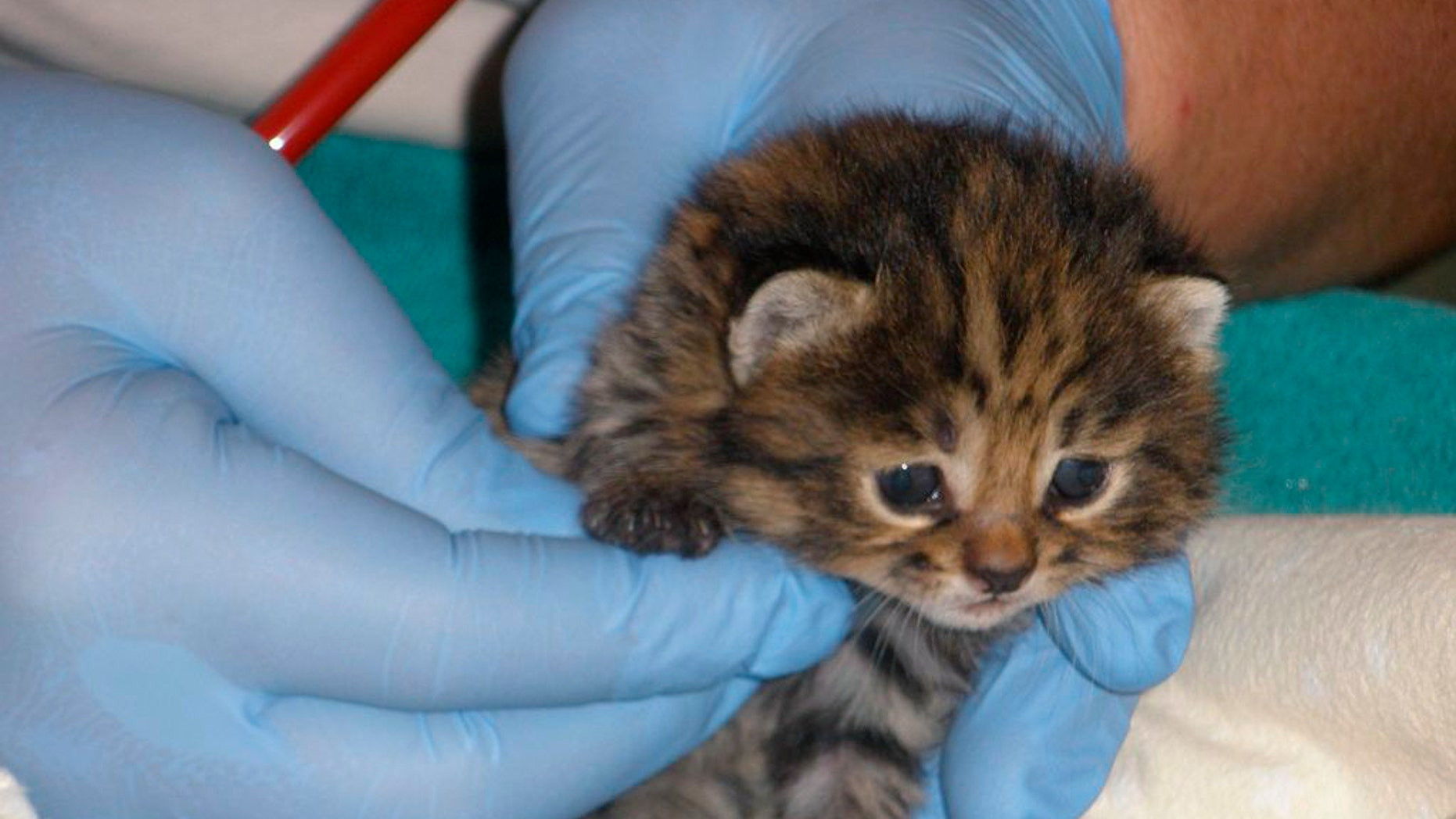 This photo, provided by Audubon Nature Institute, shows one of two rare African black-footed cats born Feb. 13, 2011 in New Orleans.