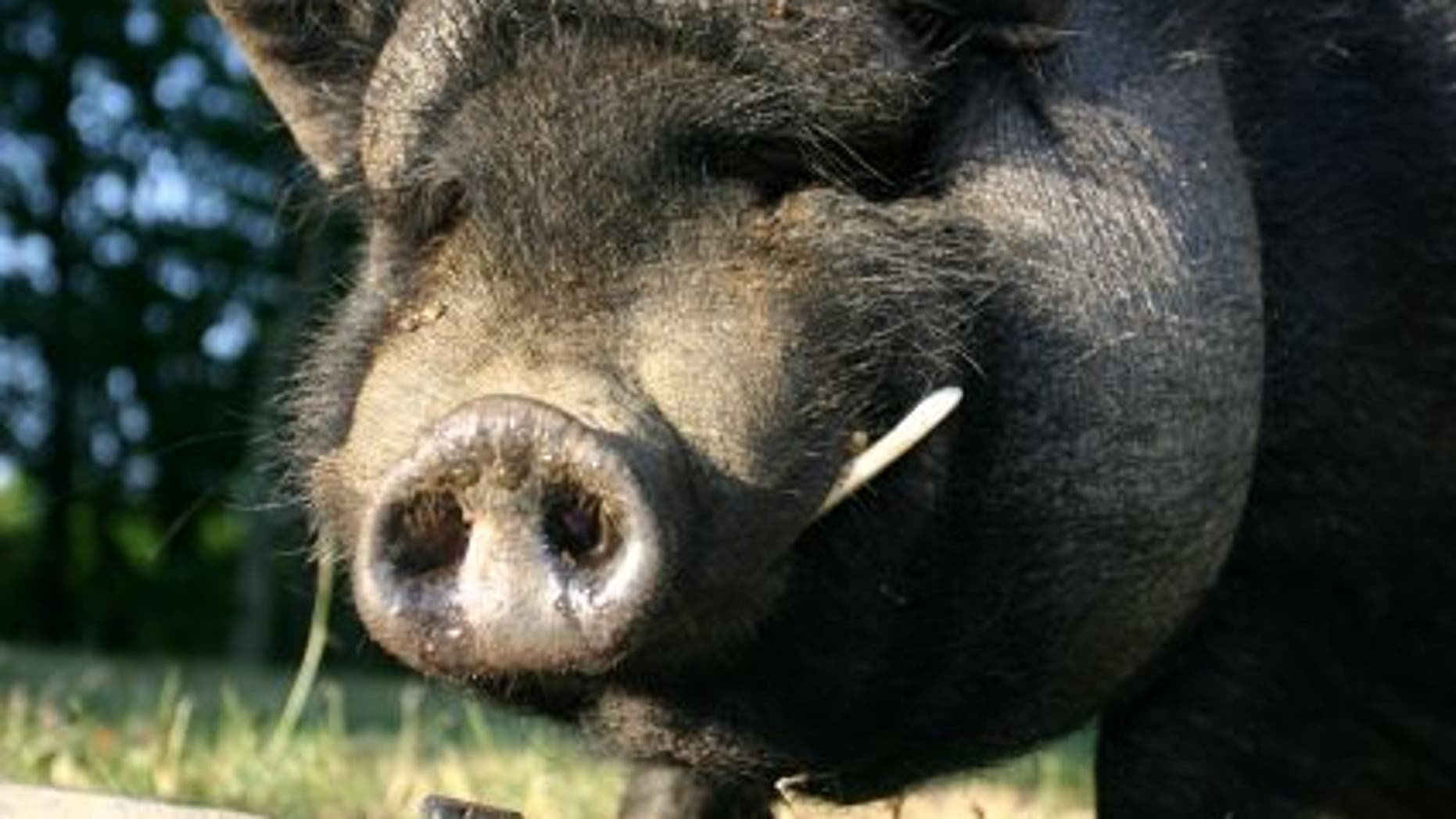 New air travel rules could mean that pot-bellied pigs, miniature horses and monkeys could all be allowed to travel on planes as service animals.
