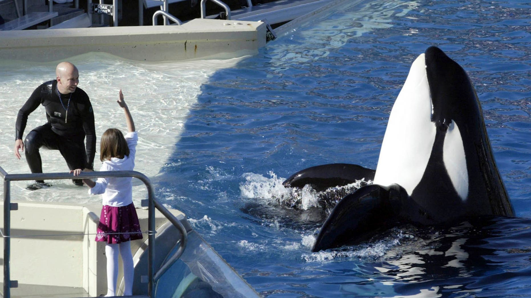 SeaWorld Adventure Park trainer Ken Peters, left, looks to a killer whale during a performance at Shamu Stadium inside the theme park in San Diego