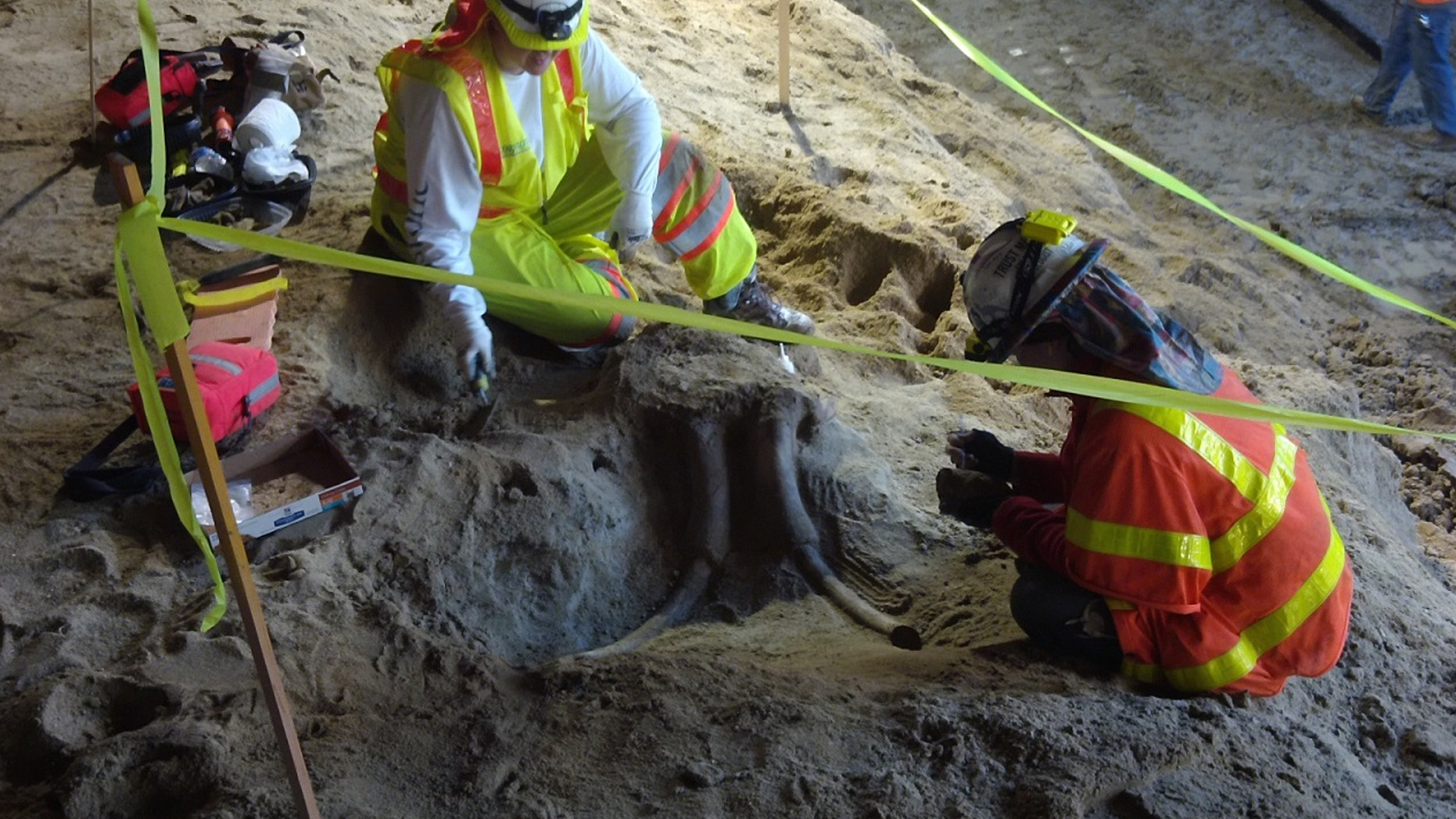 The skull of a large Probiscidean, such as a mammoth or a mastodon, was recently unearthed while construction workers were digging a new line to the Los Angeles Metro (Metro).