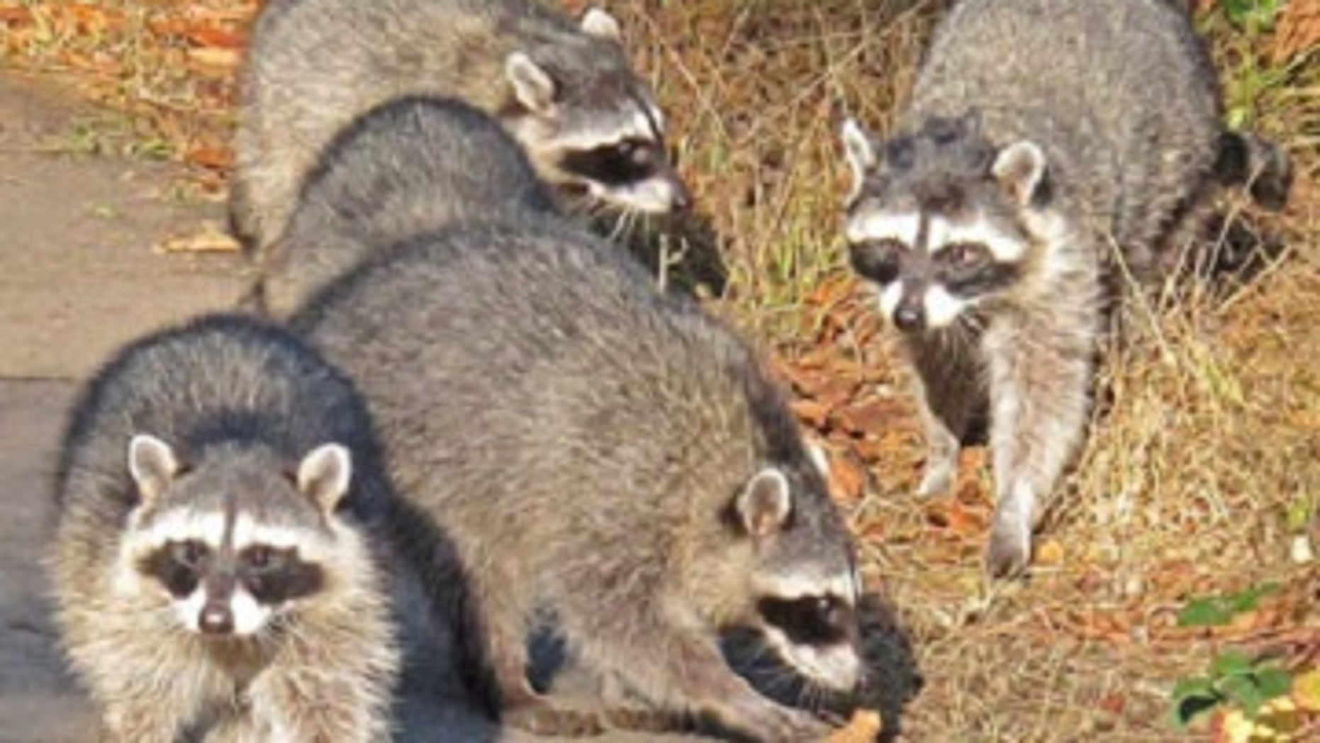 The common factor, found in all of the tumors, was a newly described virus, dubbed raccoon polyomavirus.