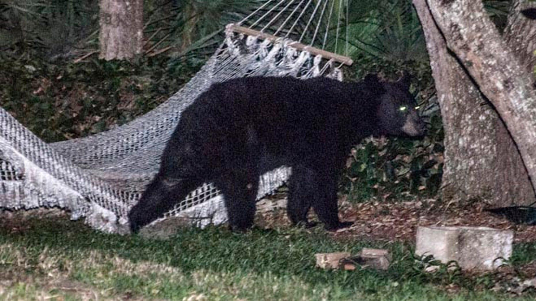 May 30, 2014: A black bear leaves a residential back yard in Daytona Beach, Florida.