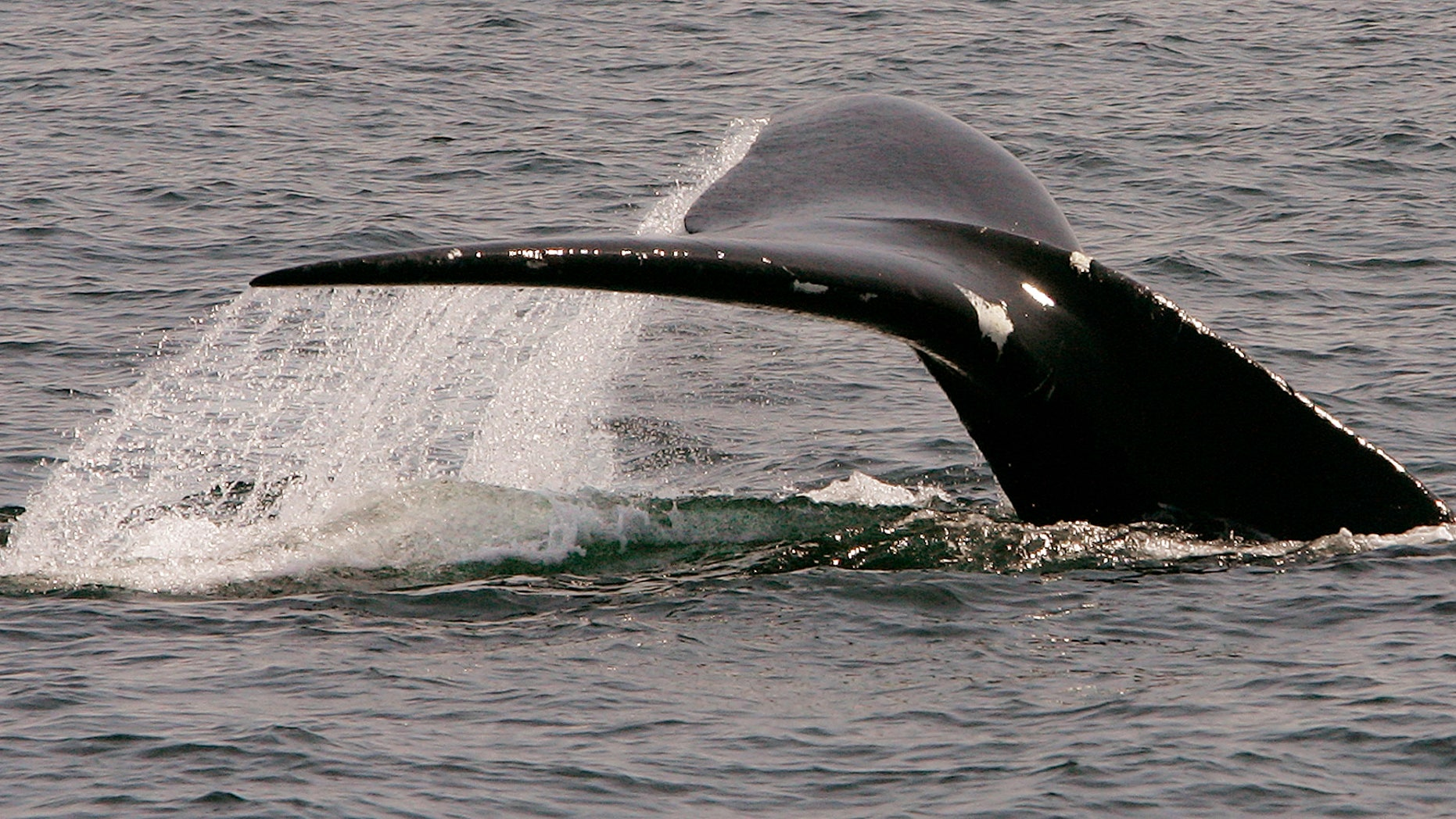 FILE: A North Atlantic right whale dives in Cape Cod Bay near Provincetown, Mass.