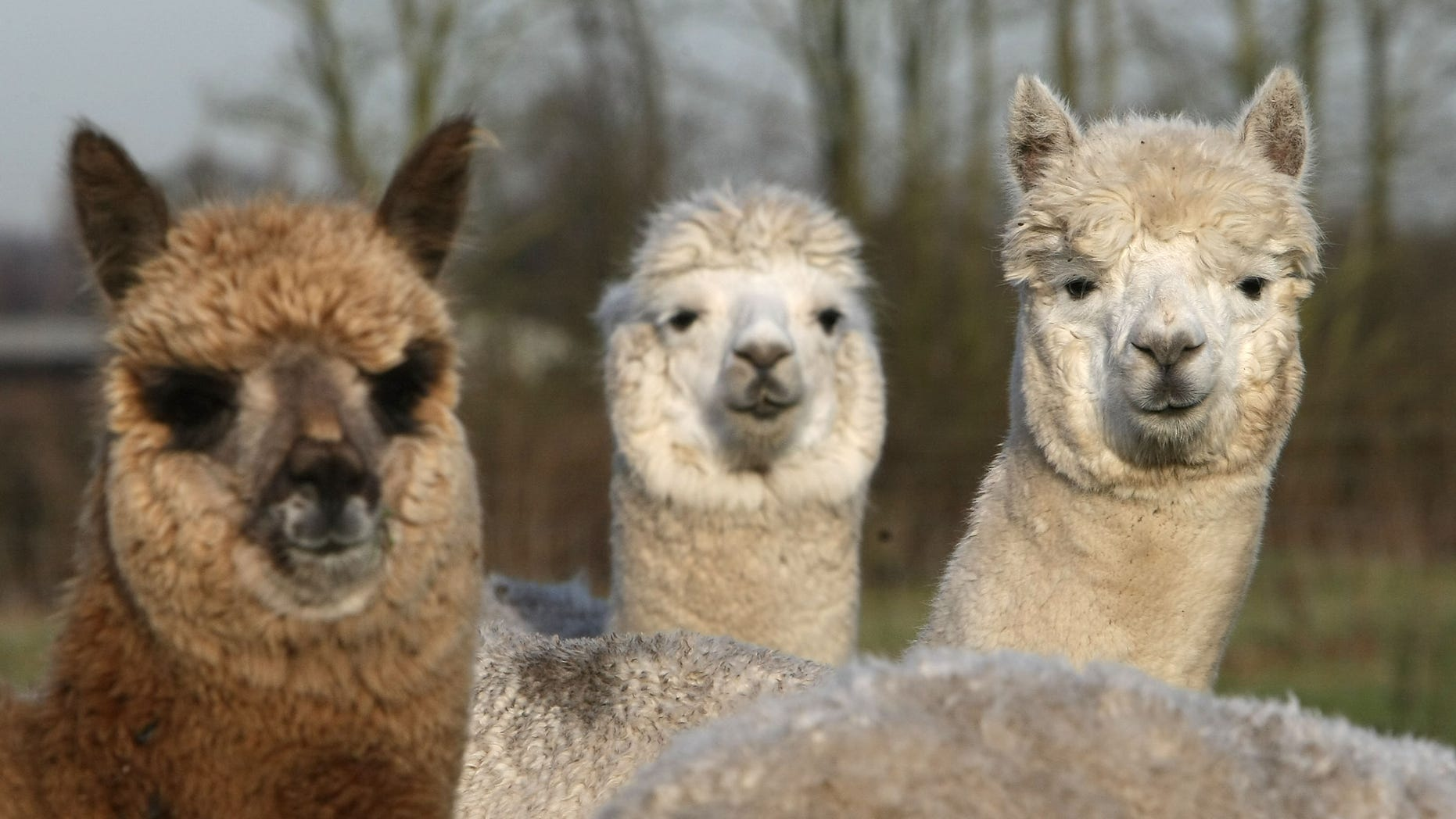 KNUTSFORD, UNITED KINGDOM - DECEMBER 13:  Alpacas graze on a field owned by farmer Khanikhah Guy at her country small holding on December 12, 2007, near the village of Pickmere, Knutsford, England. Alpacas are part of the camelids family and originate from the Andes. They are much sought after for their wool and coats which make high quality clothes and garments. Khanikhah's products and animals have become popular with the affluent and celebrity set of Cheshire with Alpacas becoming the latest new designer pet and costing up to GBP 5000. Socks made from the wool are her top selling Christmas present from her Artemis Alpacas Farm Shop. Shearing of the animals wool is done annually by a skilled shearer who flies to the UK from New Zealand. None of her animals are slaughtered for their fleeces and are only used after a natural death.  (Photo by Christopher Furlong/Getty Images)