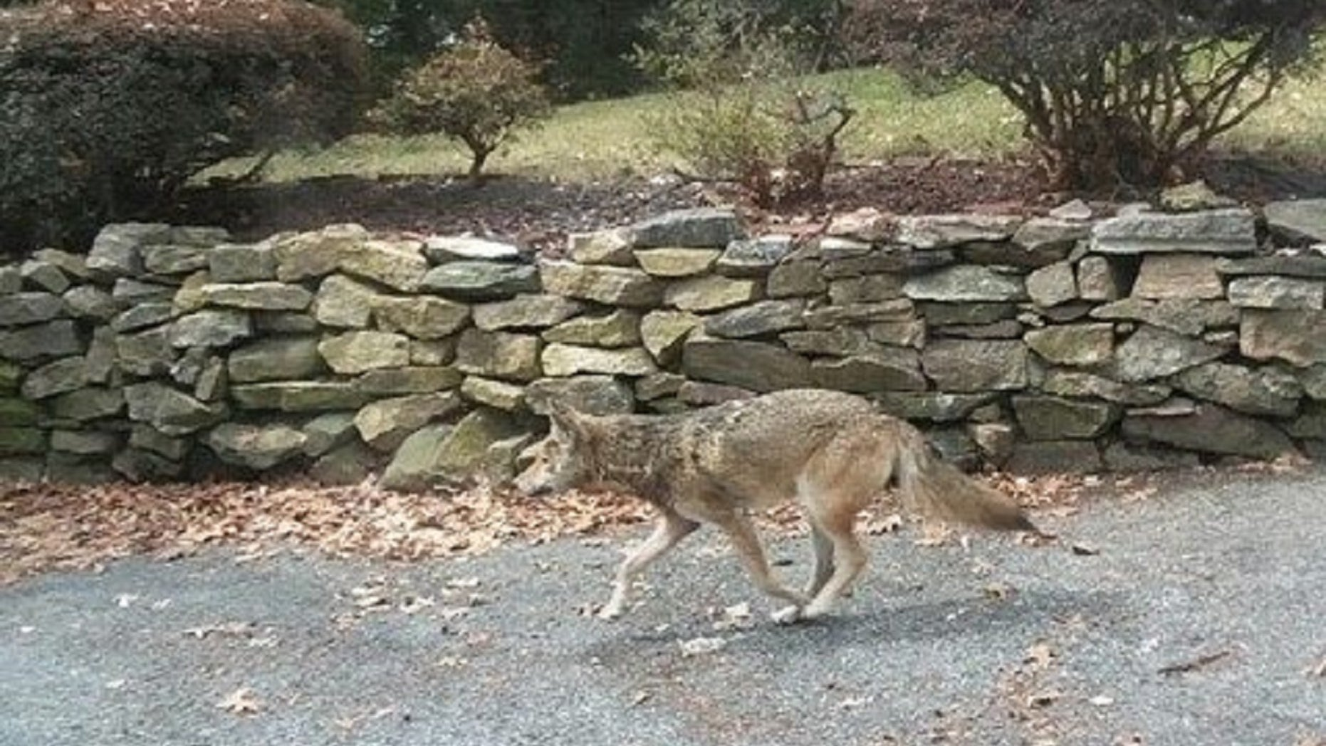 A coyote which was killed in Westchester County, New York, has been found to have had rabies, the Journal News reports.