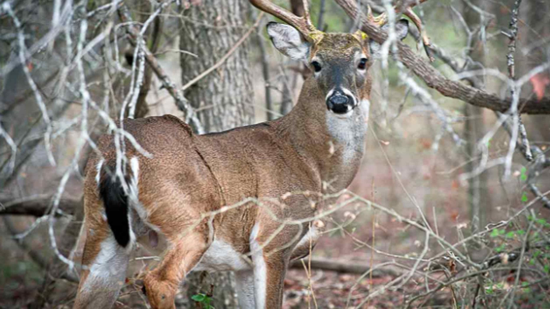 Wisconsin Deer Hunter Meets Friendly 8 Point Buck During Hunt Fox News