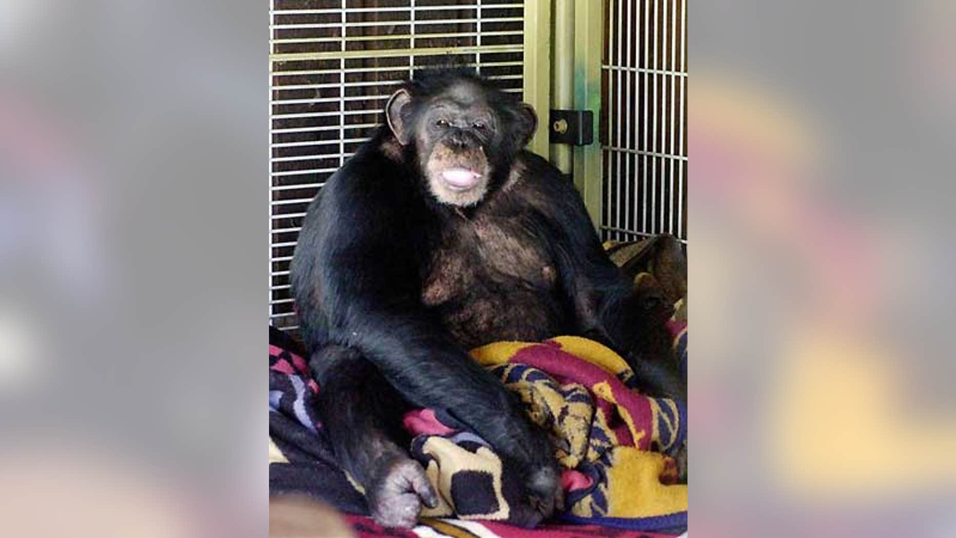 Travis the chimpanzee, pictured here in a 2003 file photo