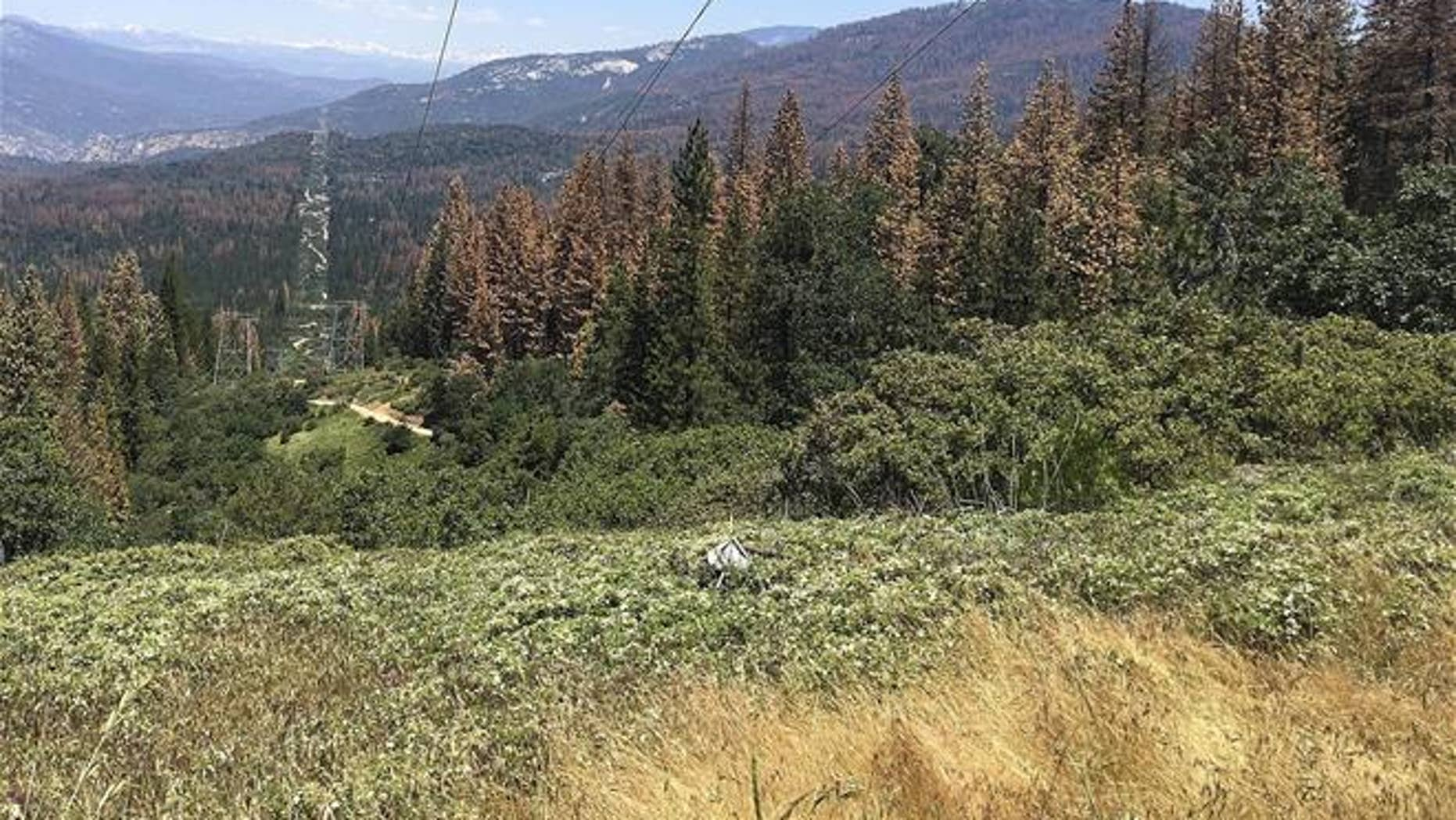 This June 6, 2016 photo shows patches of dead and dying trees near Cressman, Calif. More than 100 million trees have died in the state over the past six years.
