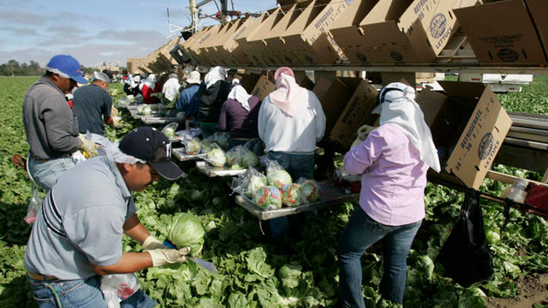 **FILE** Workers pick lettuce in Salinas, Calif., in this June 4, 2007 file photo. The number of newly laid off people signing up for jobless benefits went up modestly last week, although the latest figures suggest employment conditions around the country remain good. The Labor Department reported Thursday, Aug. 2, 2007 that new applications filed for unemployment insurance rose by a seasonally adjusted 4,000 to 307,000 for the week ending July 28. That was a better showing than economists expected; they were forecasting claims to rise to 310,000. (AP Photo/Paul Sakuma, file)