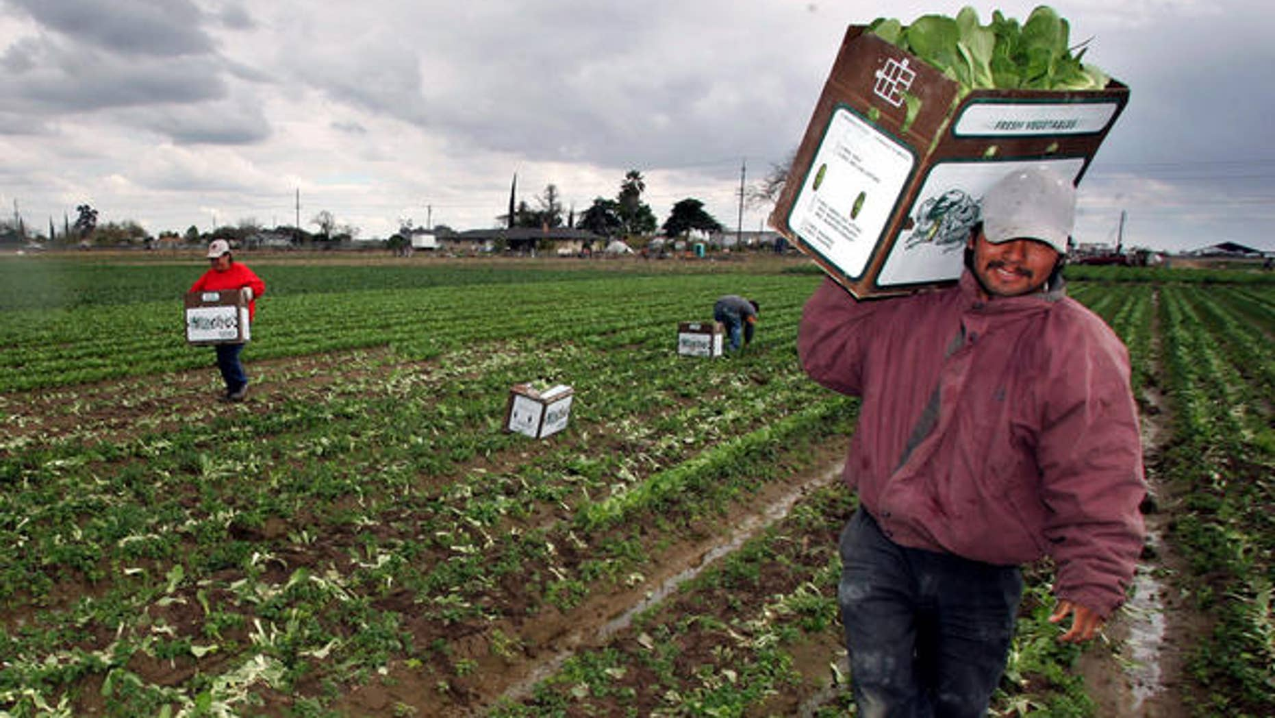 Workers carry boxes of bok choy out of a field Friday, March 31, 2006, in Fresno, Calif. Congress is embroiled in an intense debate over immigration legislation. At issue on the immigration controversy is a debate over a proposal that would legalize an estimated 11 million illegal immigrants in the United States and expand guest worker programs for an estimated 400,000 immigrants each year.  (AP Photo/Gary Kazanjian)