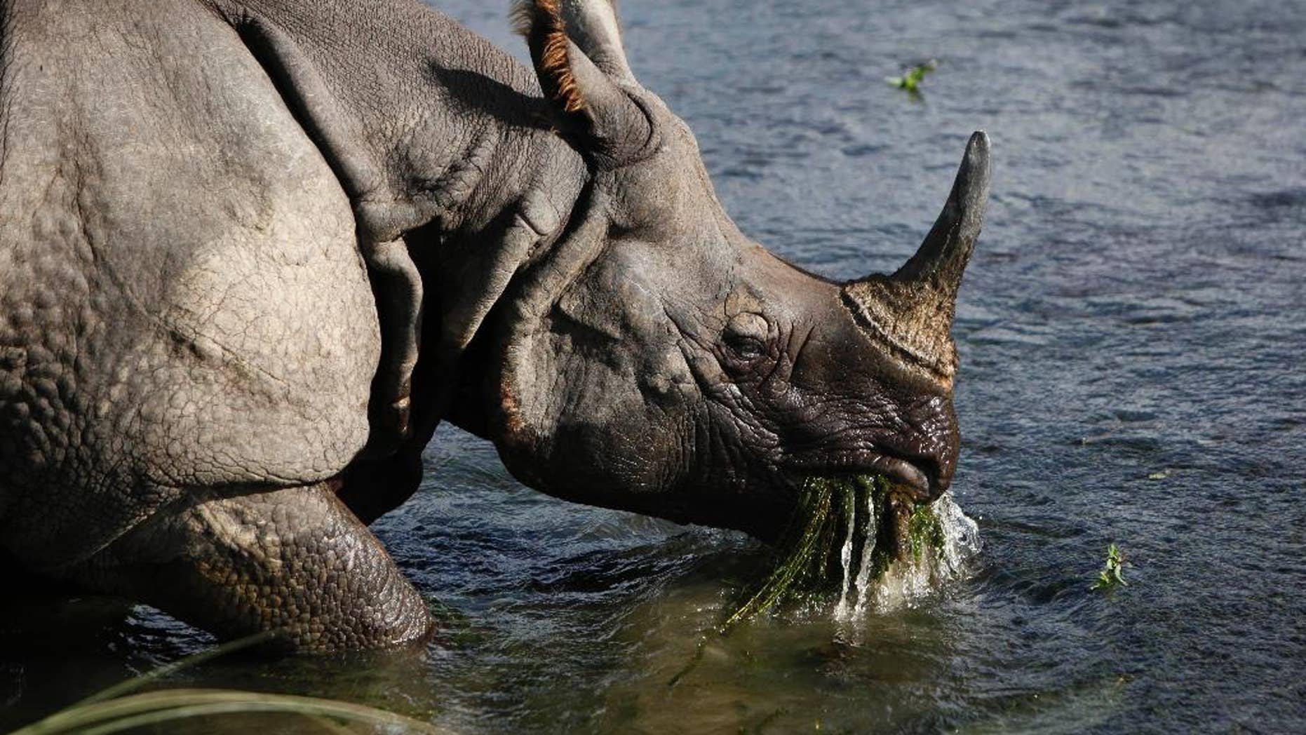A great one-horned rhino eats water plants from a river in the Janakauli community forest bordering Chitwan National Park, Nepal, Aug. 1, 2010.