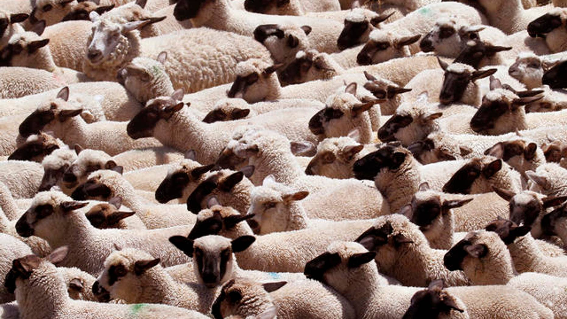 Scores of sheep flock together and head in the same direction after they are spooked by a nearby crop-dusting helicopter at a farm on Sauvies Island in Portland, Ore., Friday, June 18, 2010.(AP Photo/Don Ryan)